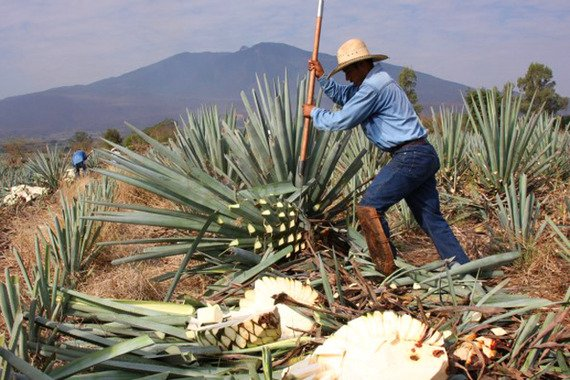 Blue Agave Tequila Plant FAB Gist: Tequi...
